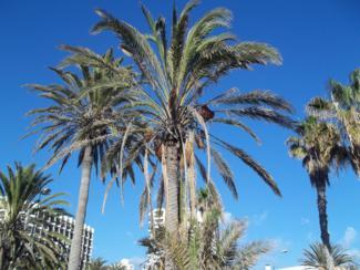 Foto di Tenerife (palme a Playa de Las Americas)