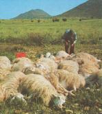 Illustrazione di un gregge di pecore sardo